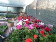 Instalaciones de Alimer dedicadas al cultivo de flores: geranios en primer plano y ciclamen al fondo